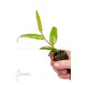 """Begonia komoensis """"Starter"""""""