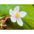 Begonia listida