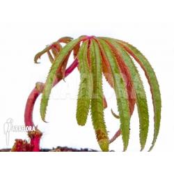 Begonia luxurians 'Starter'