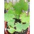 Begonia lyallii ssp lyallii