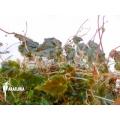 Begonia maurandiae
