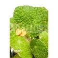 Begonia microsperma