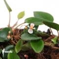 Begonia schulzei 'Starter plug'