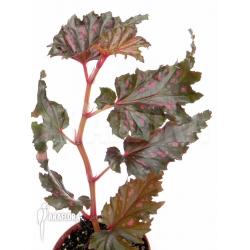 """Begonia serratipetala """"Small"""""""