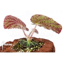 """Begonia sizemoreae """"Starter"""""""