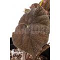 Begonia sp Vietnam 1