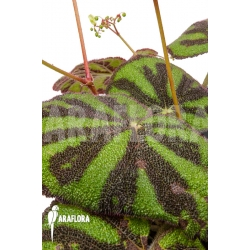 Begonia sp Vietnam 18