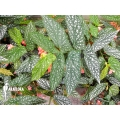 Begonia species Araflora spec3