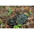Begonia species Madagascar 'Metallic'