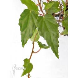 Begonia species hanging