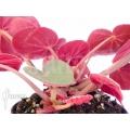 Begonia subacida