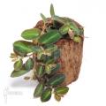 Hänge- and Kletterpflanzen für das Terrarium