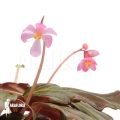 Begonia x 'Marobogneri'