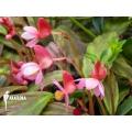 Begonia x marobogneri 'Plug'