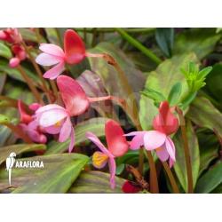 Begonia x Marobogneri plug