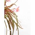 Begonia x 'Paulita' 'XL'
