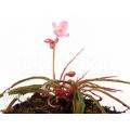 Begonia x 'Paulita' 'S'