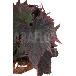 Begonia x Royal Velour