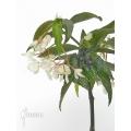 Begonia x Tamaya big white flowers