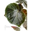Begonia x credneri oldemore