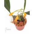 Orchidee 'Bifrenaria aureo-fulva'