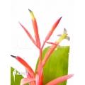 Bromelien 'Billbergia leptopoda'