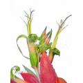 Bromelien 'Billbergia x windii (nutans x decora)'