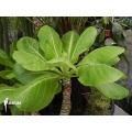 Hawaiian palm 'Brighamia insignis'