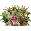 Bromeliad Neoregelia package (10 plants)