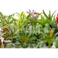 Bromeliad Neoregelia package XL Deal (12 plants)
