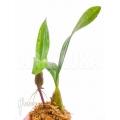 Orchidee 'Bulbophyllum falcatum' 'Starter'