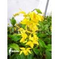 Garten orchidee 'Calanthe sieboldii'