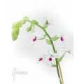Orchidee 'Calanthe vestita var.rubra'