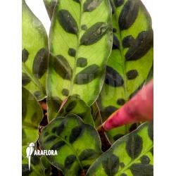 Calathea lancifolia 'Starter'