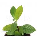 Teepflanze 'Camellia sinensis'