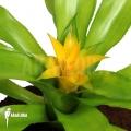 Bromelien 'Canistropsis billbergioides cv citron'