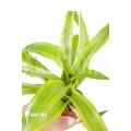Bromelien 'Canistropsis billbergioides variagated'