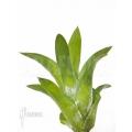 Bromelien 'Catopsis berteroniana' 'starter'