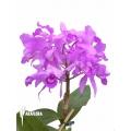 Orchidee 'Cattleya skinneri'