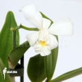 Orchidee 'Cattleya x Blondy'