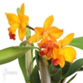 Orchidee 'Cattleya 'orange passion''