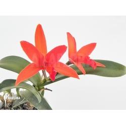 Cattleya x Red beauty