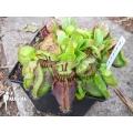 Cephalotus follicularis  'Dudley Watts'
