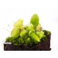 Cephalotus follicularis'plug'