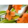 Orchidee 'Ceratostylis retisquama' starter