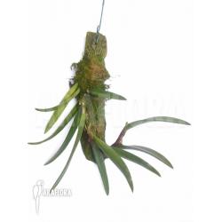 Ceratostylis retisquama 'Rubra'
