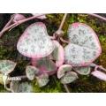 Ceropegia linearis subs woodii variegata