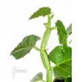 Cissus quadrangularis 'Starter'
