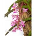 Orchidee 'Cleisostoma arietinum'