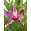 Orchidee 'Cochleanthes COC05'